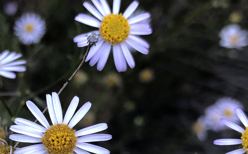 Close up photograph of yellow and white daisy